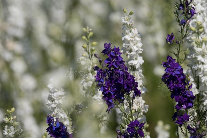 Close-up van purpere en witte riddersporen op gebied bij Wiek, Pershore, Worcestershire, het UK De bloemblaadjes worden gebruikt  stock afbeelding