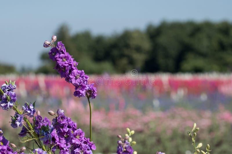 Close-up van purpere ridderspoorbloem op gebied bij Wiek, Pershore, Worcestershire, het UK De bloemblaadjes worden gebruikt om hu stock afbeelding