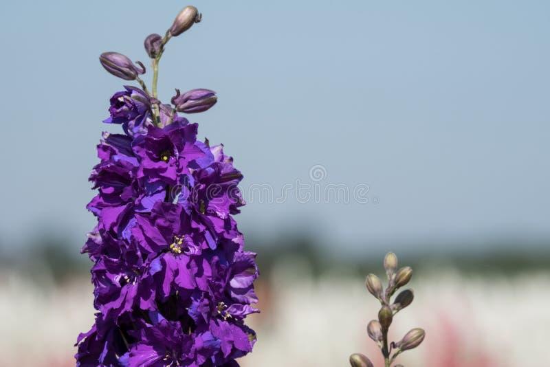 Close-up van purpere ridderspoorbloem op gebied bij Wiek, Pershore, Worcestershire, het UK De bloemblaadjes worden gebruikt om hu royalty-vrije stock foto