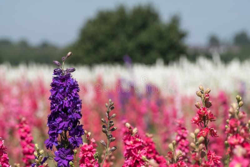 Close-up van purpere ridderspoorbloem op gebied bij Wiek, Pershore, Worcestershire, het UK De bloemblaadjes worden gebruikt om hu royalty-vrije stock foto's