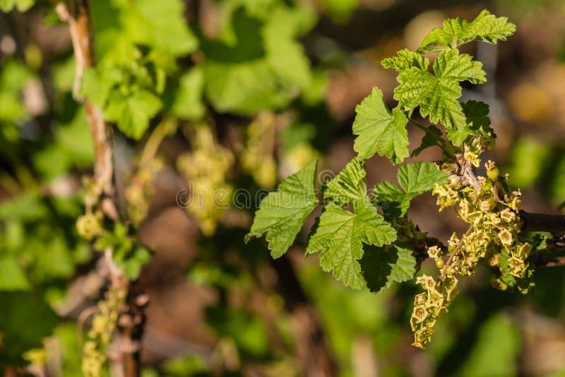Close-up van redcurrant bloemen en bladeren royalty-vrije stock foto's
