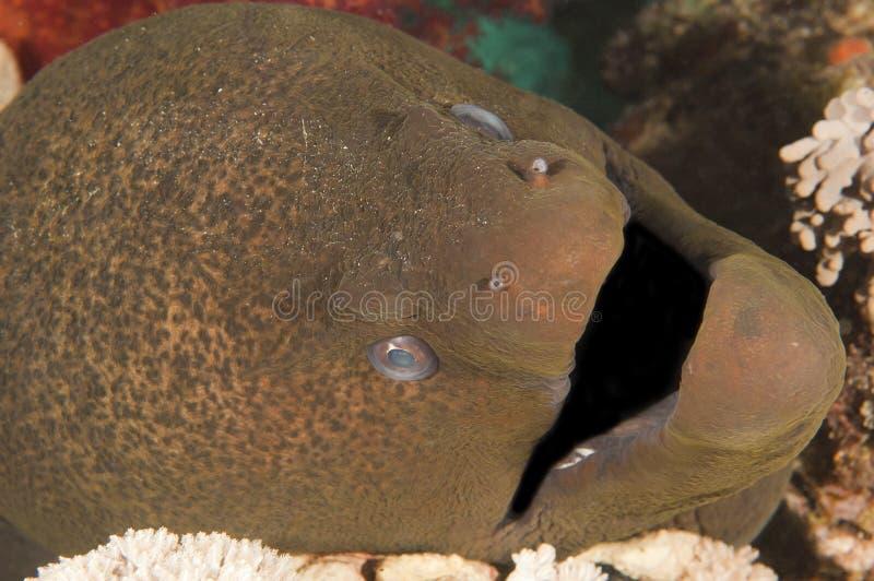 Close-up van reuze moray paling royalty-vrije stock afbeelding