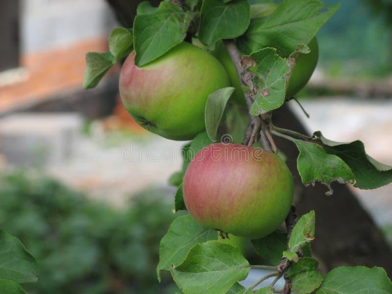 Close-up van rijpe groene appelen op een boom van de takappel in Chelyabinsk, Rusland stock fotografie
