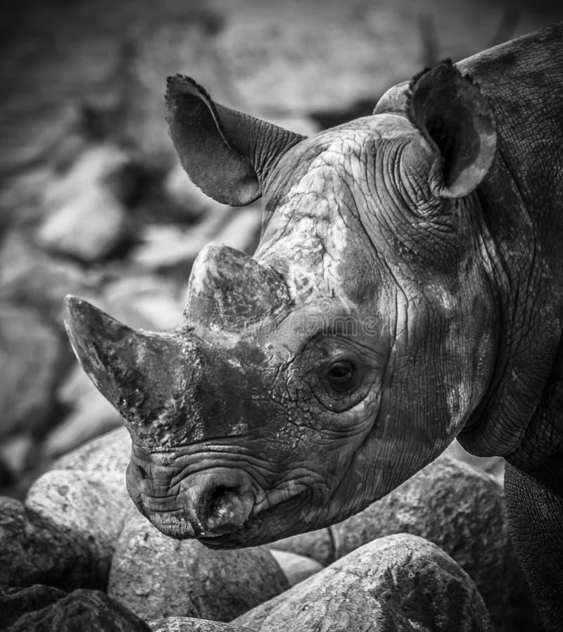 Close-up van rinoceroshoofd royalty-vrije stock foto