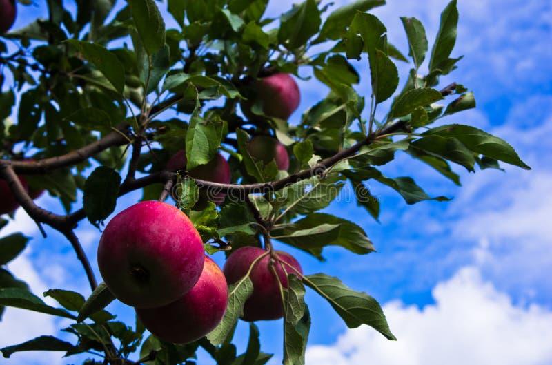 Close-up van rode appelen op een boom bij boomgaard royalty-vrije stock fotografie