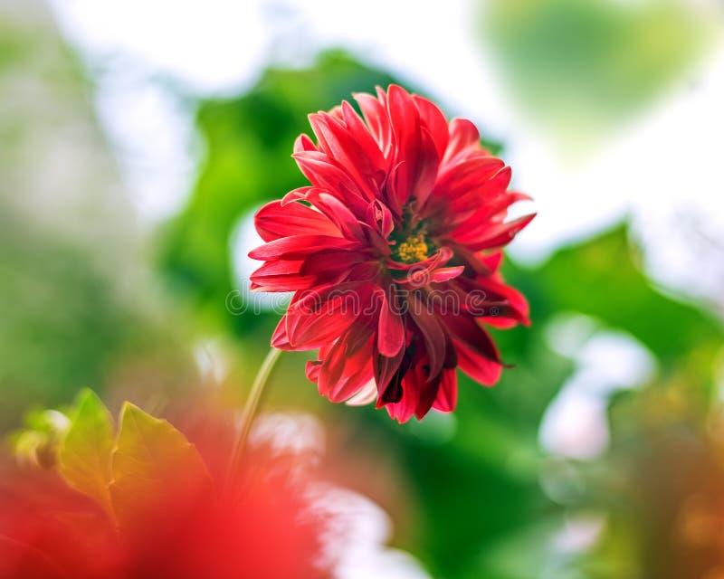 Close-up van Rode Dahlia Flower op onscherpe achtergrond royalty-vrije stock foto's