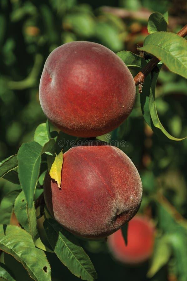 Close-up van rode rijpe perziken die aan bladtak worden geplakt royalty-vrije stock foto