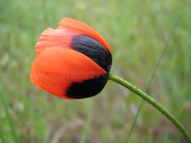 Close-up van rode zwarte papaver met slanke steel stock foto