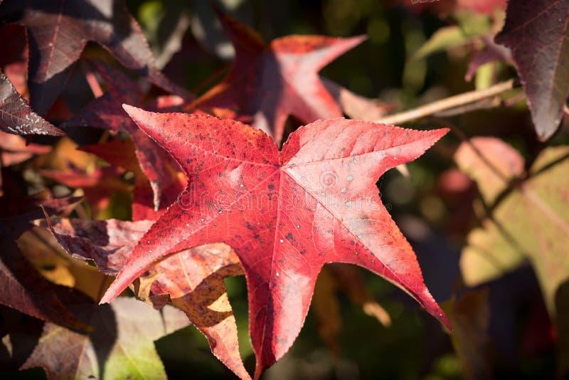 Close-up van Rood Autumn Leaf stock afbeelding