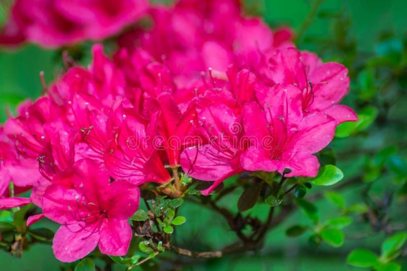Close-up van Roze Azalea Flowers stock afbeelding