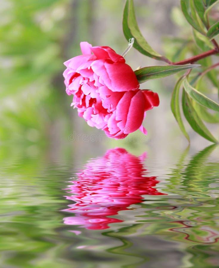 Close-up van roze bloem royalty-vrije stock foto's