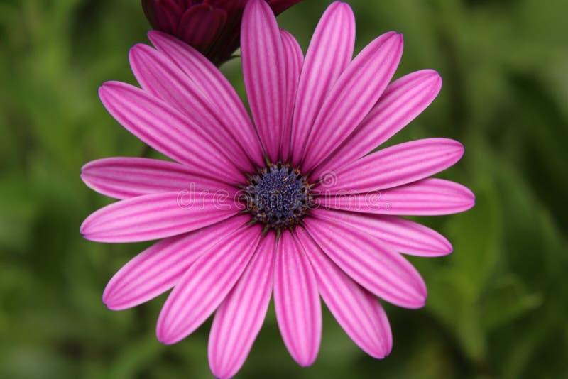 Close-up van Roze Bloem die in openlucht bloeien stock foto's