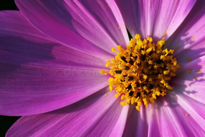 Close-up van roze bloembloesems stock afbeelding