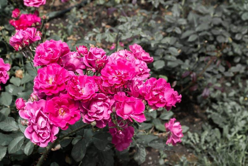 Close-up van roze bloemen stock foto