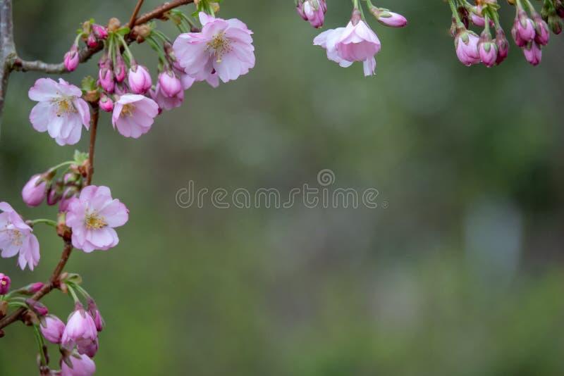 Close-up van roze bloesems in de lente stock foto