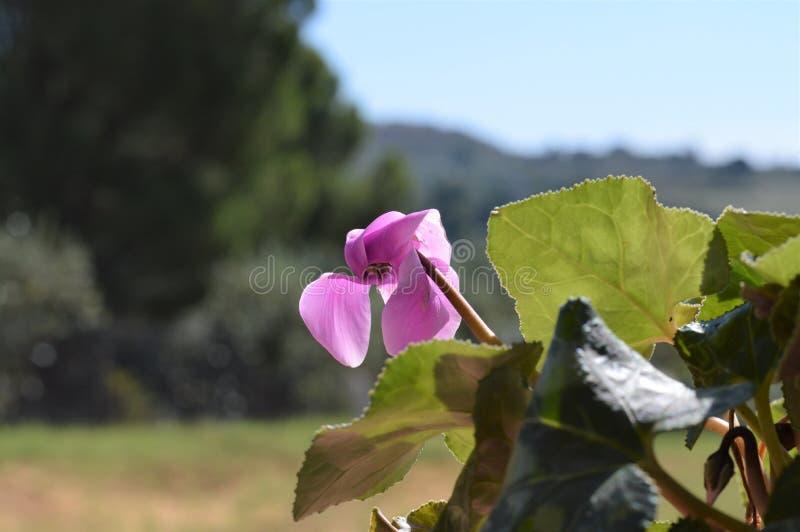 Close-up van Roze Cyclaambloemen, Aard, Macro stock afbeeldingen