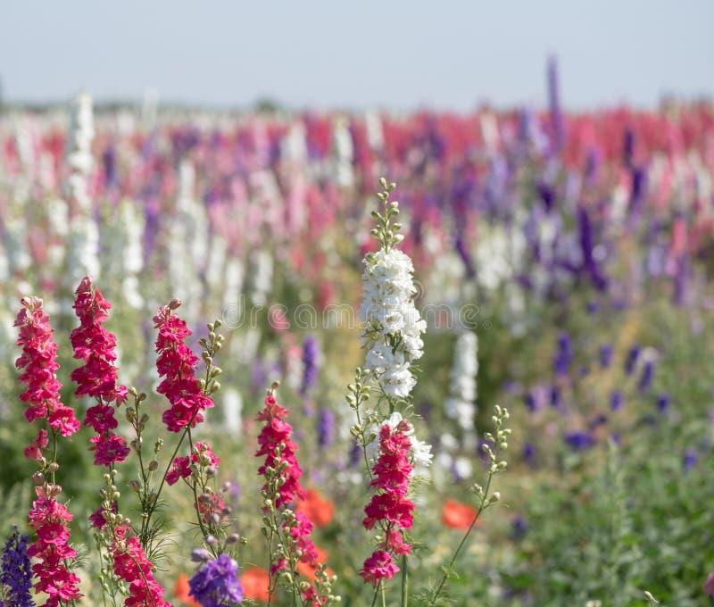 Close-up van roze en witte riddersporen op gebied bij Wiek, Pershore, Worcestershire, het UK De bloemblaadjes worden gebruikt om  royalty-vrije stock afbeelding