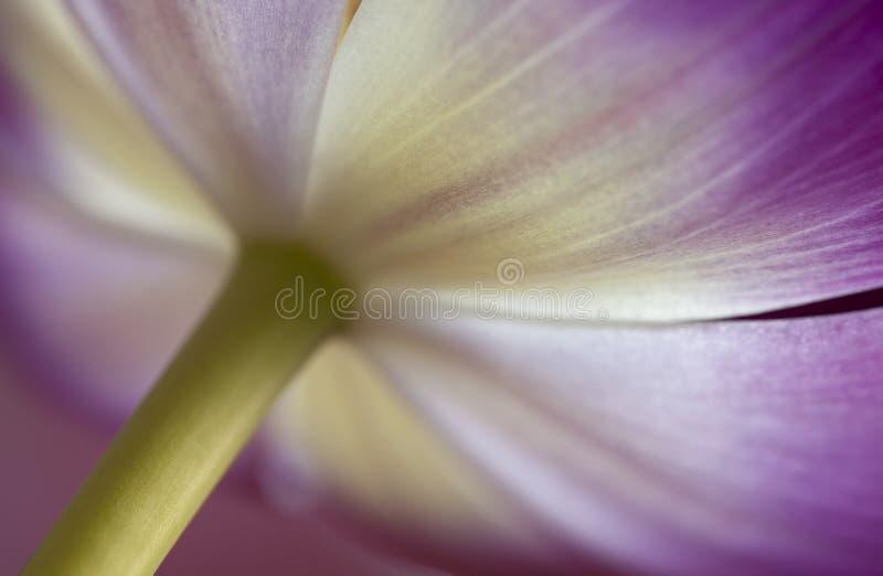 Close-up van Roze en Witte Tulp royalty-vrije stock afbeelding