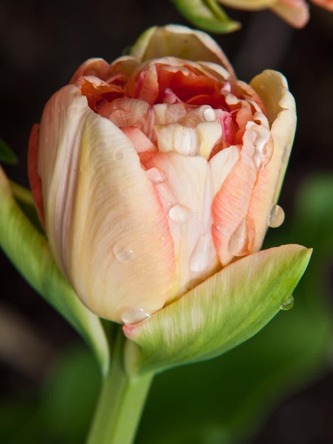 Close-up van roze gele tulp met druppeltjes van water stock foto's