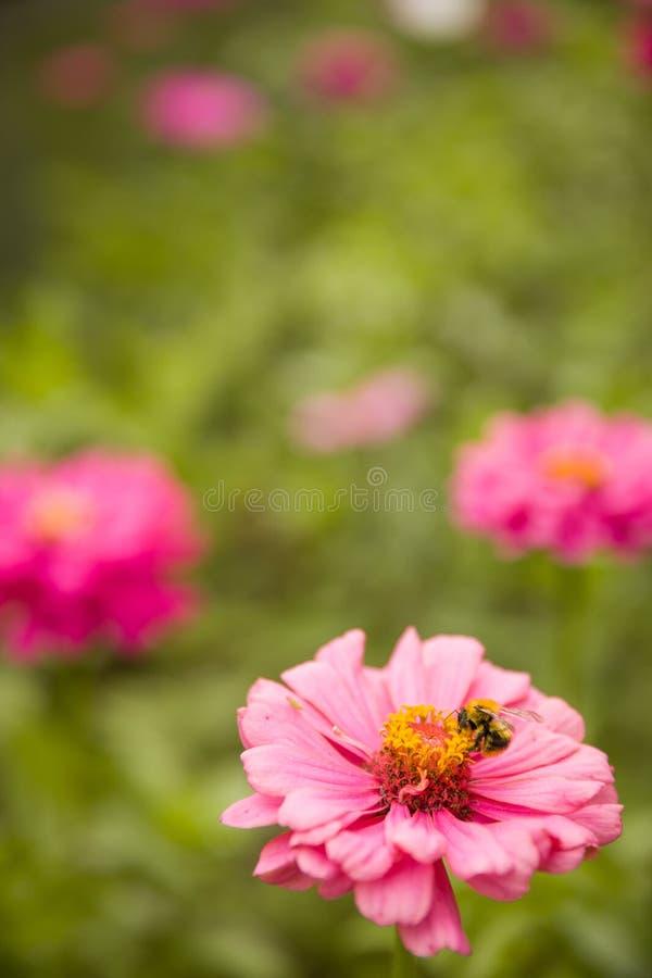 Close-up van roze Gerber-madeliefje op de achtergrond van de zomerbloemen stock fotografie