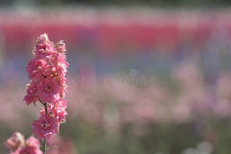 Close-up van roze ridderspoorbloem op gebied bij Wiek, Pershore, Worcestershire, het UK De bloemblaadjes worden gebruikt om huwel stock afbeelding