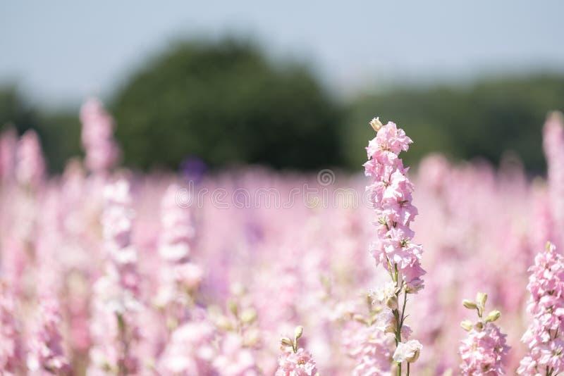 Close-up van roze riddersporen bij bloemlandbouwbedrijf bij Wiek, Pershore, Worcestershire, het UK De bloemblaadjes worden gebrui stock fotografie