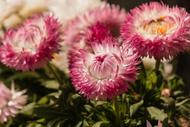 Close-up van roze strawflowers stock afbeelding