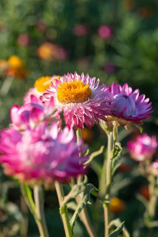 Close-up van roze strawflowers in weide royalty-vrije stock afbeeldingen