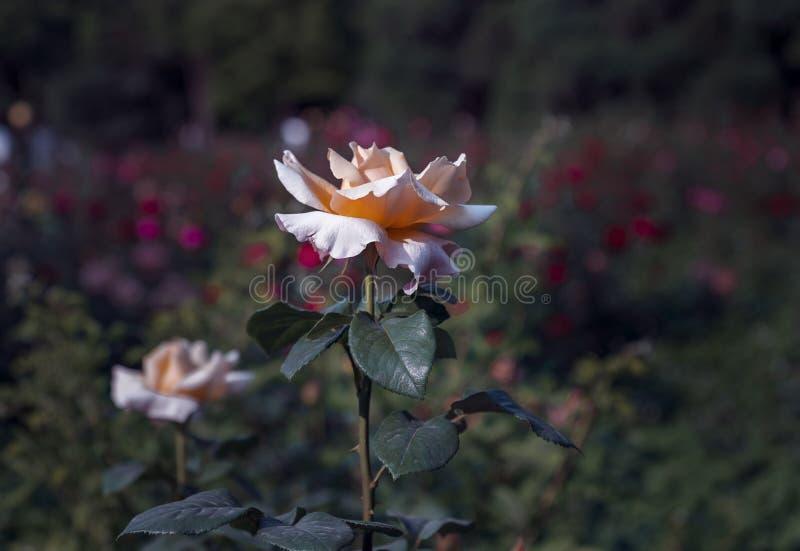 Close-up van rozen stock fotografie