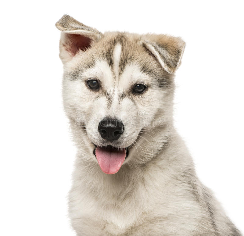 Close-up van Siberisch die Husky Puppy, op wit wordt geïsoleerd royalty-vrije stock fotografie