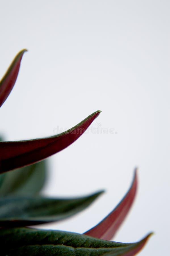Close-up van smaragdgroene rimpelingspeperomia stock foto's