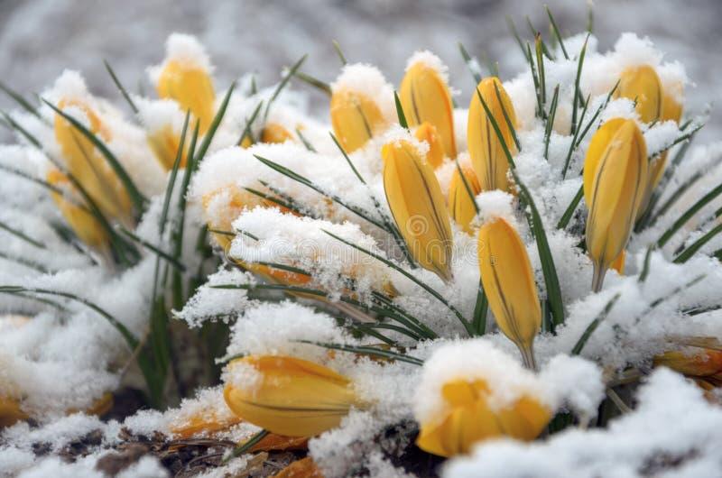 Close-up van snow-covered gele bloeiende krokussen stock foto's