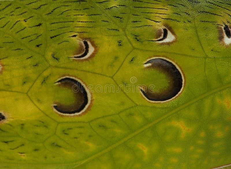Close-up van sprinkhaan, Maleis Blad Katydid stock foto