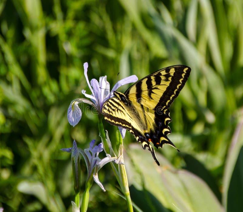 Close-up van Swallowtail-vlinder op Rocky Mountain-iris stock foto