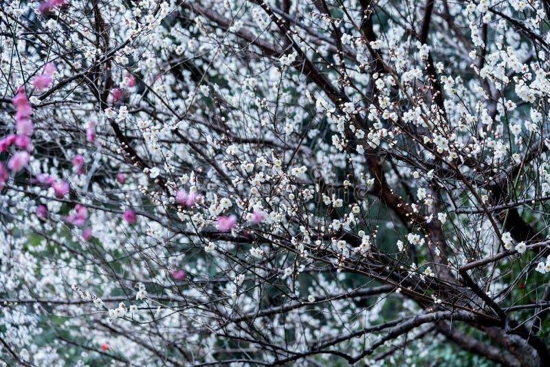 Close-up van tot bloei komende pruimbomen royalty-vrije stock foto