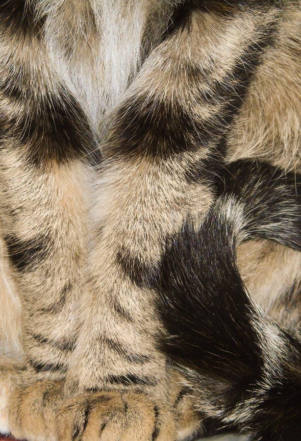 Close-up van tricolor gestreepte kat, gekleurde katachtige, huisdierenachtergrond, detail van poten en staart stock afbeelding