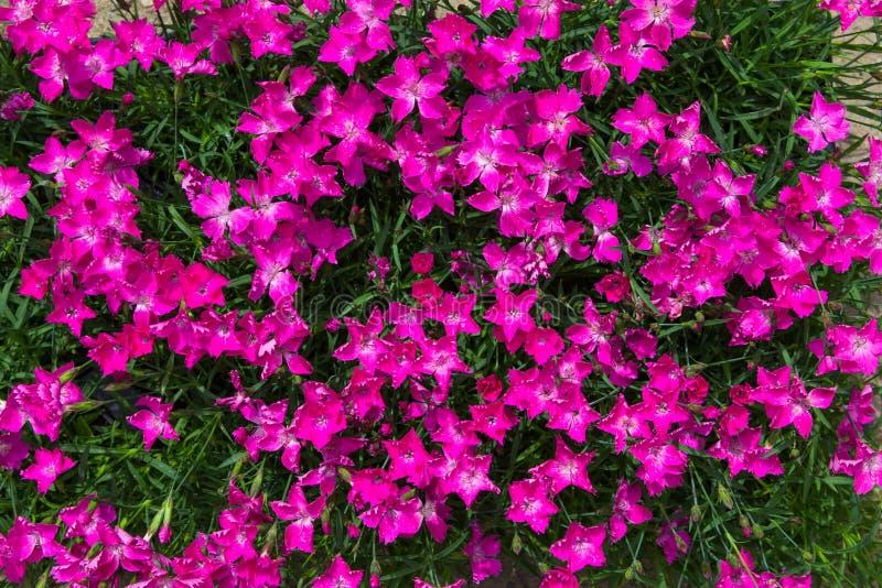 Close-up van trillende roze bloesems stock afbeeldingen