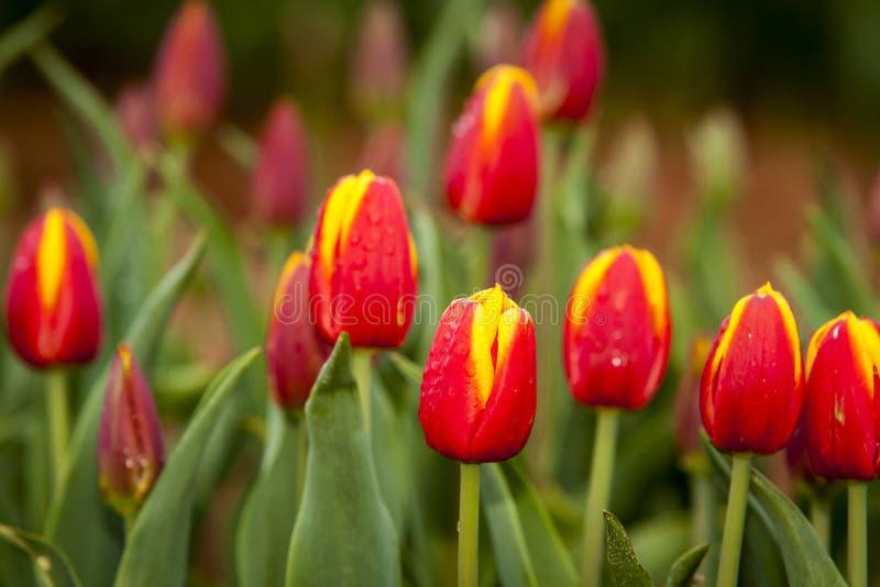 Close-up van Tulip Field stock foto's