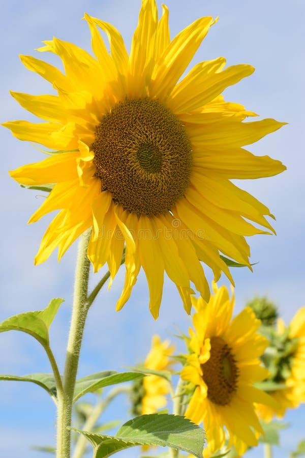Close-up van twee mooie gele zonnebloemen op een zonnige de zomerdag royalty-vrije stock afbeeldingen