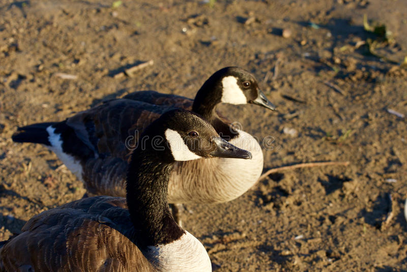 Close-up van twee mooie jonge ganzen van Canada royalty-vrije stock foto