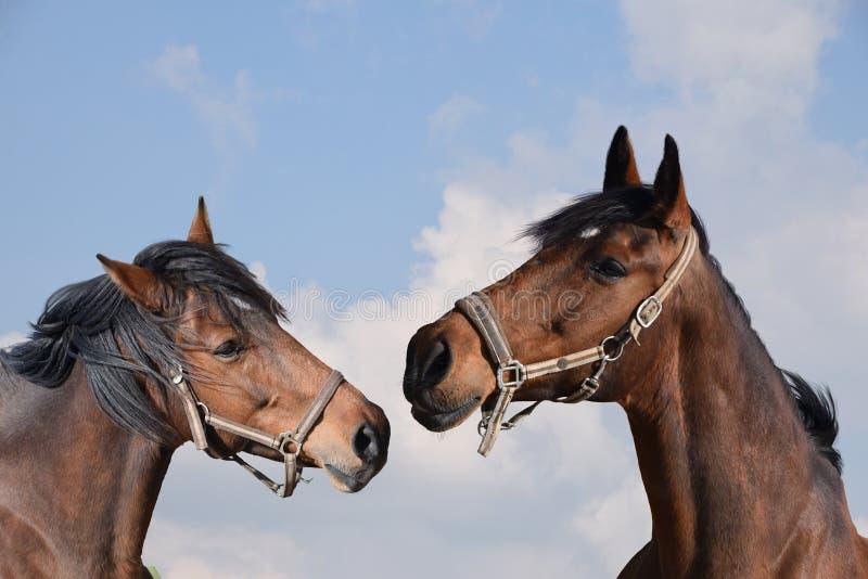 Close-up van twee volwassen bruine paarden stallions stock fotografie