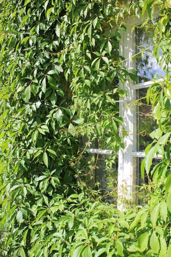 Close-up van venster met Wilde wingerd stock afbeelding