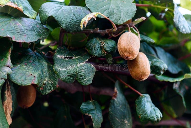 Close-up van Vers kiwifruit op groene kiwiboom stock foto