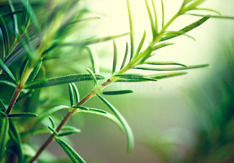 Close-up van verse rozemarijnbladeren stock foto