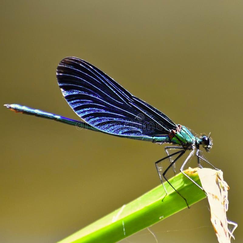 Close-up van virgo van libelcalopteryx royalty-vrije stock afbeeldingen