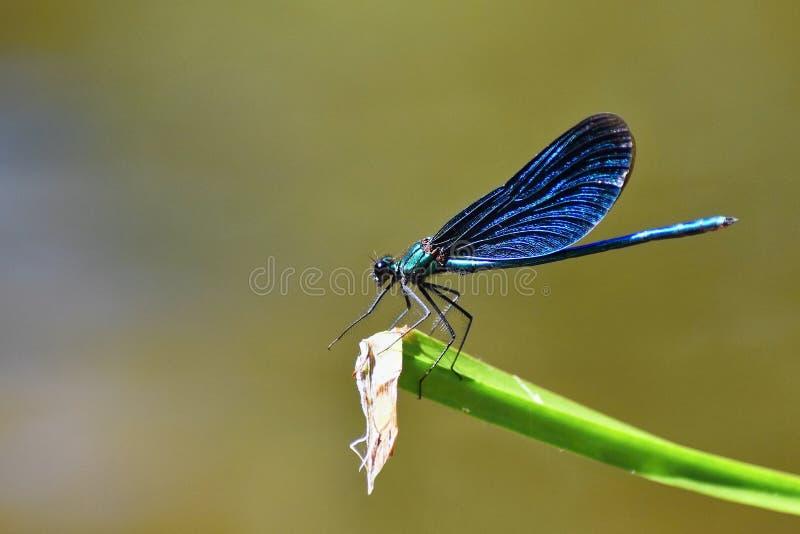 Close-up van virgo van libelcalopteryx royalty-vrije stock foto