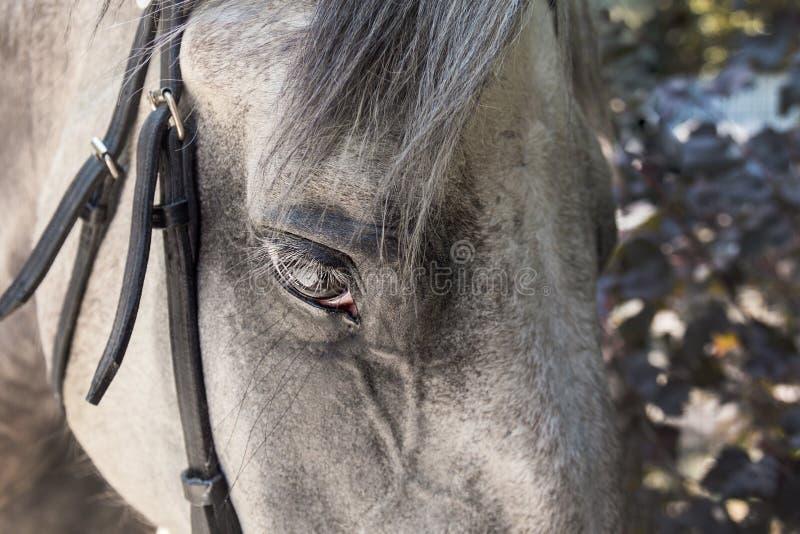 Close-up van vlek-grijs paardgezicht met zwarte teugel en lange wimpers stock afbeelding