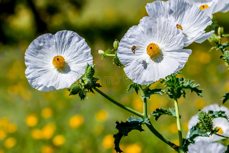 Close-up van Vliegend Honey Bee Near Witte Stekelige Poppy Wildflo stock foto's