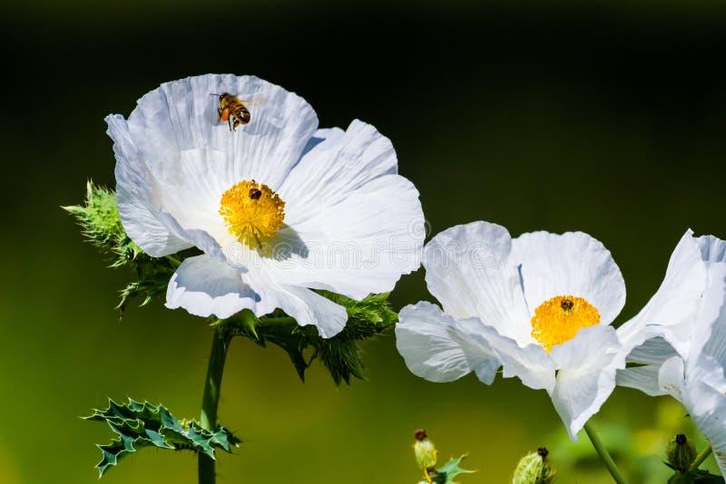 Close-up van Vliegend Honey Bee op Witte Stekelige Poppy Wildflowe stock foto's