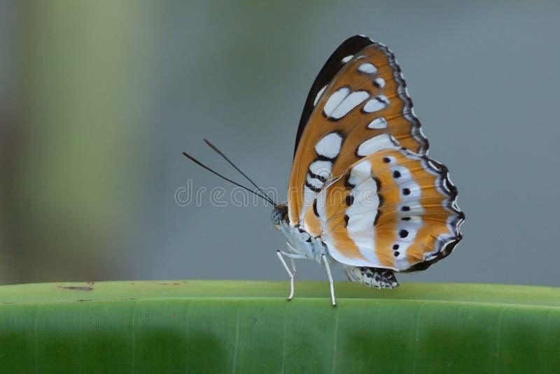 Close-up van vlinder stock afbeelding